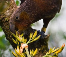 Zealandia kaka-flax-bdoran-reduced