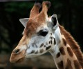 giraffe_wellington_zoo XXX