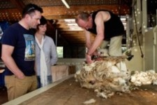 The Point Sheep Shearing