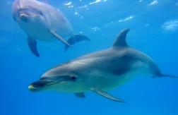 Explore Group - Bay of Islands dolphin underwater 2