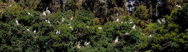White Heron Sanctuary Tour West Coast-1