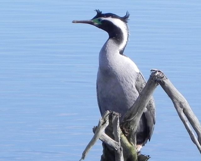 Okarito_Lagoon_Bird_Watching_boat_tours_on_Lagoon_ 4