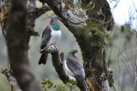 Franz-josef-glacier-boat-tours-lake-mapourika-bird-watching