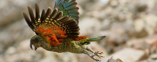 Mount-Cook-Tasman-Valley-4WD-Argo-tours-adventures-Kea-NZ-Parrot