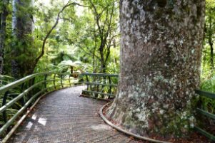 Bay-of-Islands-sightseeing-tours-pukeiti-forest-walks