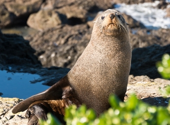 Road-trip-New Zealand-christchurch to Kaikoura-seal-colony-2