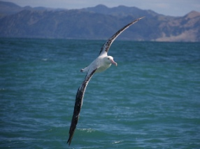 Albatross-encounters-kaikoura-bird-watching-albatross