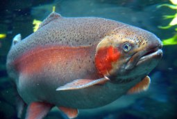 rainbow-springs-rotorua-rainbow-trout-closeup