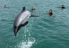 eco-seaker-akaroa-harbour-people-dolphin-swimming-trips-nature-tours-dolphin-jumping-2
