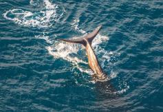 kaikoura-whale-watch-scenic-helicopter-flights-aerial-close-up-of-whale-tail-diving