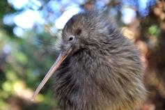 te-puia-rotoruas-geothermal-valley-kiwi-new-zealands-native-bird