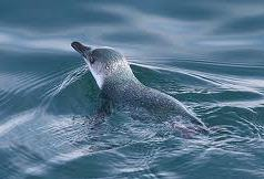 akaroa-fox-2-sailing-eco-cruise-dolphin-viewing-wildlife-cruise-blue-penguin