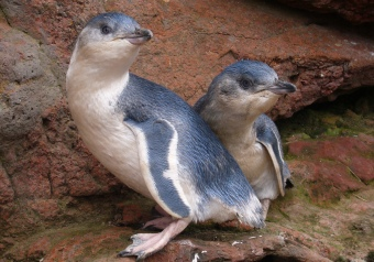 akaroa-pohatua-penguins-guided-tours