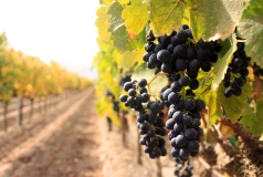 wine-tasting-tours-marlborough-blenheim-hop-n-grape-grapes-on-vine