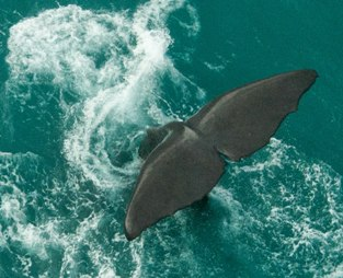 Kaikoura-Helicopters-whale-tail-dive-from-above-2