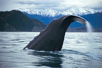 kaikoura-whale-watch-diving-tail
