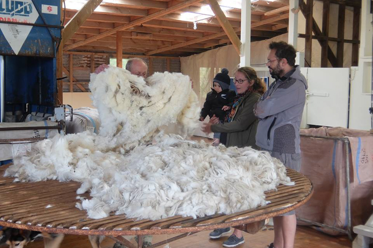 A True Experience Of New Zealand Sheep Shearing At The Point
