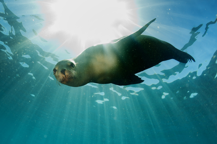 Swim with the Seals in Kaikoura - Things to do in Kaikoura Swimming Seal on seal clip art, seal in the sea, seal animals, seal on land,
