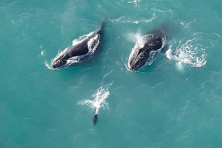 Helicopter flight viewing two sperm whales on Kaikoura coastline with Dolphins