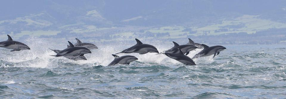dolphin-encounter-kaikoura-swim-with-dolphins-large-pod-dusky-dolphins