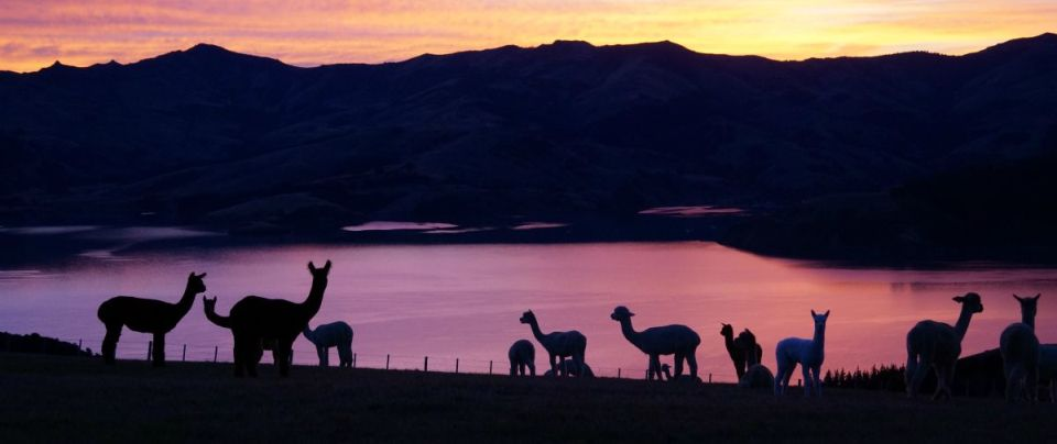 Shammarra-Alpaca-farm-tours-akaroa-banks-peninsula-23
