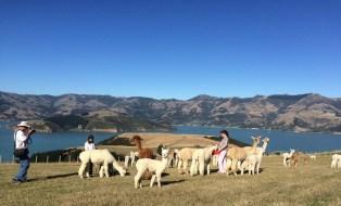 Shammarra-Alpaca-farm-tours-akaroa-banks-peninsula-28