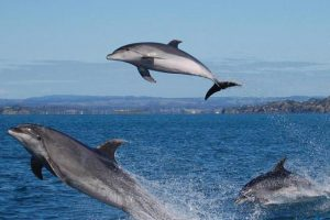 Three dolphins jumping out of the water in the Bay of Islands
