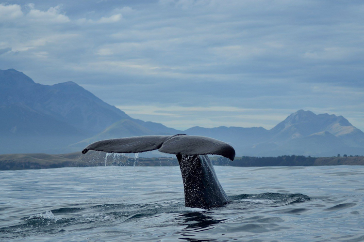 Whale watch kaikoura - Whale watching boat tours in Kaikoura