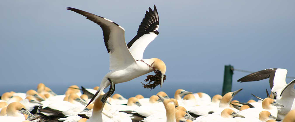 Gannet with nesting material at Cape Kidnappers