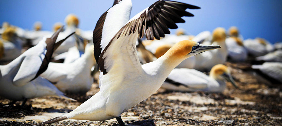 Gannet at Colony at Cape Kidnappers