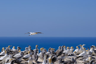 Australasian Gannet hovering over nesting ground at Cape Kidnappers