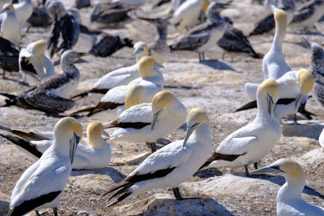 Cape Kidnappers gannet colony nesting grounds